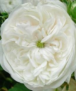 Rose Mme Zoetmans 2