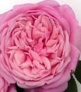 Rose MrsBRCant