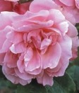 Rose Old Blush 6