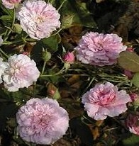 Rose Pink Pet or caldwell_pink