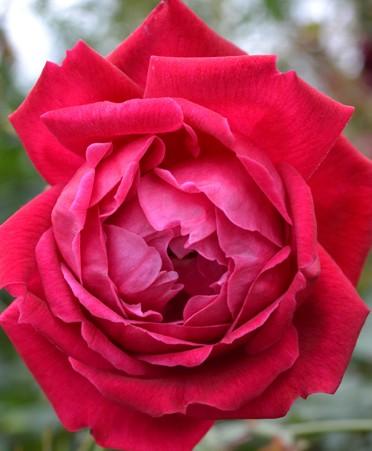 Rose cramoisi-superieur 2