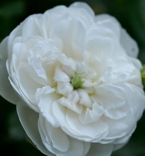 Rose madame-plantier-