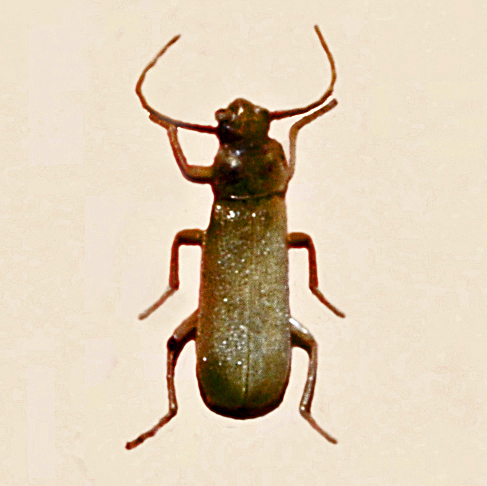 Soldier beetle Cantharidae_-_Cratosilis_laeta Hectonichus