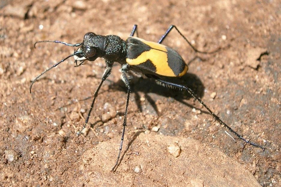 Tiger Beetle Cicindelid_bangalore  Shyamal Wikimedia Commons