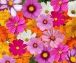 cosmos seed mix