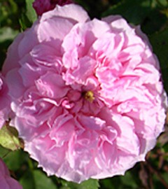 pinkpet 2