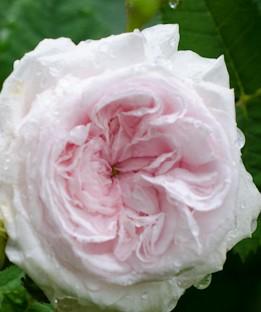 rose félicité-parmentier-