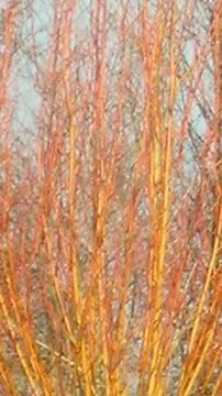 Alnus incana Aurea leafless branches