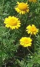 Anthemis tinctoria