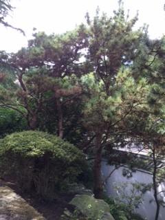 Black Pine_IMG_4627