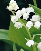 Convallaria_Majalis__Lily_of_the_Valley_ (1)