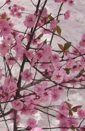 Flowering plum 3