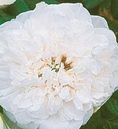 Rosa-Blanc-Double-de-Coubert