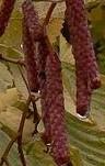 alnus-incana-aurea-catkins 2