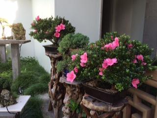 bonsai azalea_IMG_4554