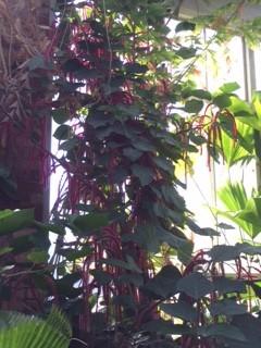 chenile plant_IMG_4410