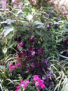 eggpl purple  pk petunias IMG_4349