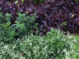 fl Euphorbia, wandering jew marigold_IMG_5765