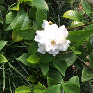 gardenia flIMG_4590