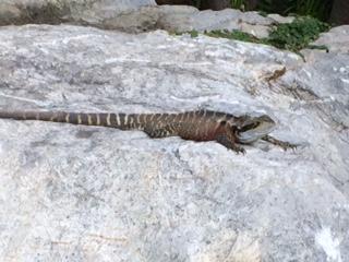 lizard_IMG_4645