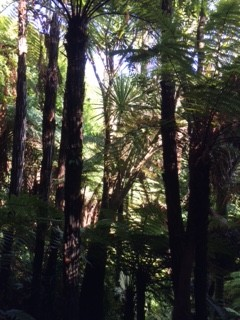 tree ferns_IMG_4381