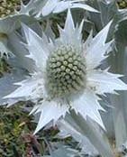 Eryngium-giganteum-