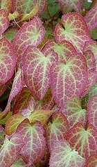 epimedium-x-rubrum red barrenwort lvs