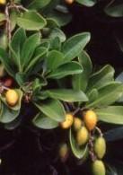 Corunocarpus laevigata lv fr