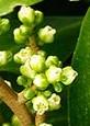 27561FP00: Karaka tree flowers (Corynocarpus laevigatus). NZ