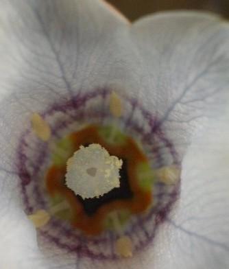 Codonopsis-clematidea-closeup