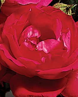 Rose Demokracie