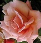 Rose Royal Sunset