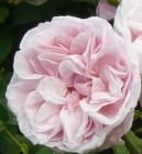 Rose Souvenir de la malmaison