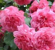 Rose_Rosarium_Uetersen_