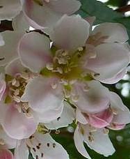 Sorbus cashmiriana fl