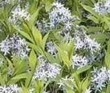 amsonia-tabernaemontana-var-salicifolia