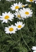 anthemis-punctata-ssp-cupaniana-fl
