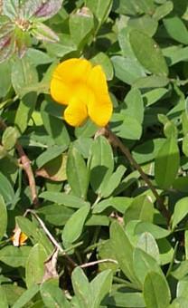 Arachis hypogaea fl