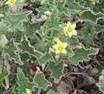 Ecballium elaterium plant 2