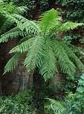 Fern-Tasmanian-tree-e1329250594198