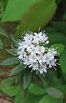 ledum-groenlandicum-fl-n-lvs