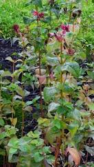 monardia-infected-with-powdery-mildew
