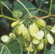 ptelea-trifolia-pods