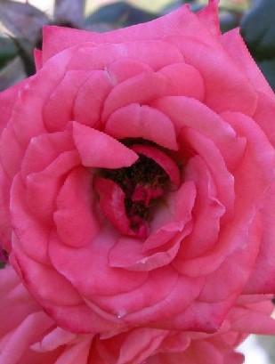 rose-angel-pink