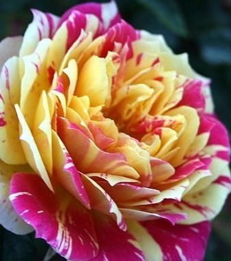 rose-earthquake