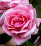 MJS Rose Jeanne Lajoie
