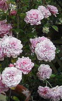 rose-jeannelajoie
