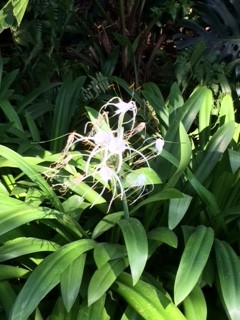 spider lily 2IMG_2202