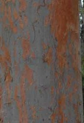 angophera-costata-bark