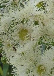 angophora-costata
